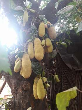 Jack fruits..so many